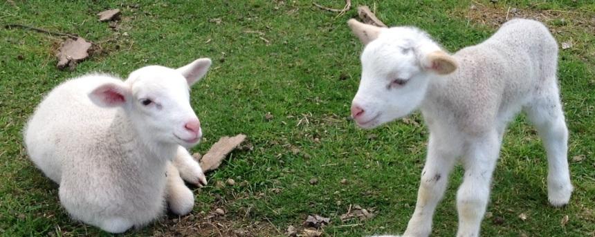 Lambs003 2015